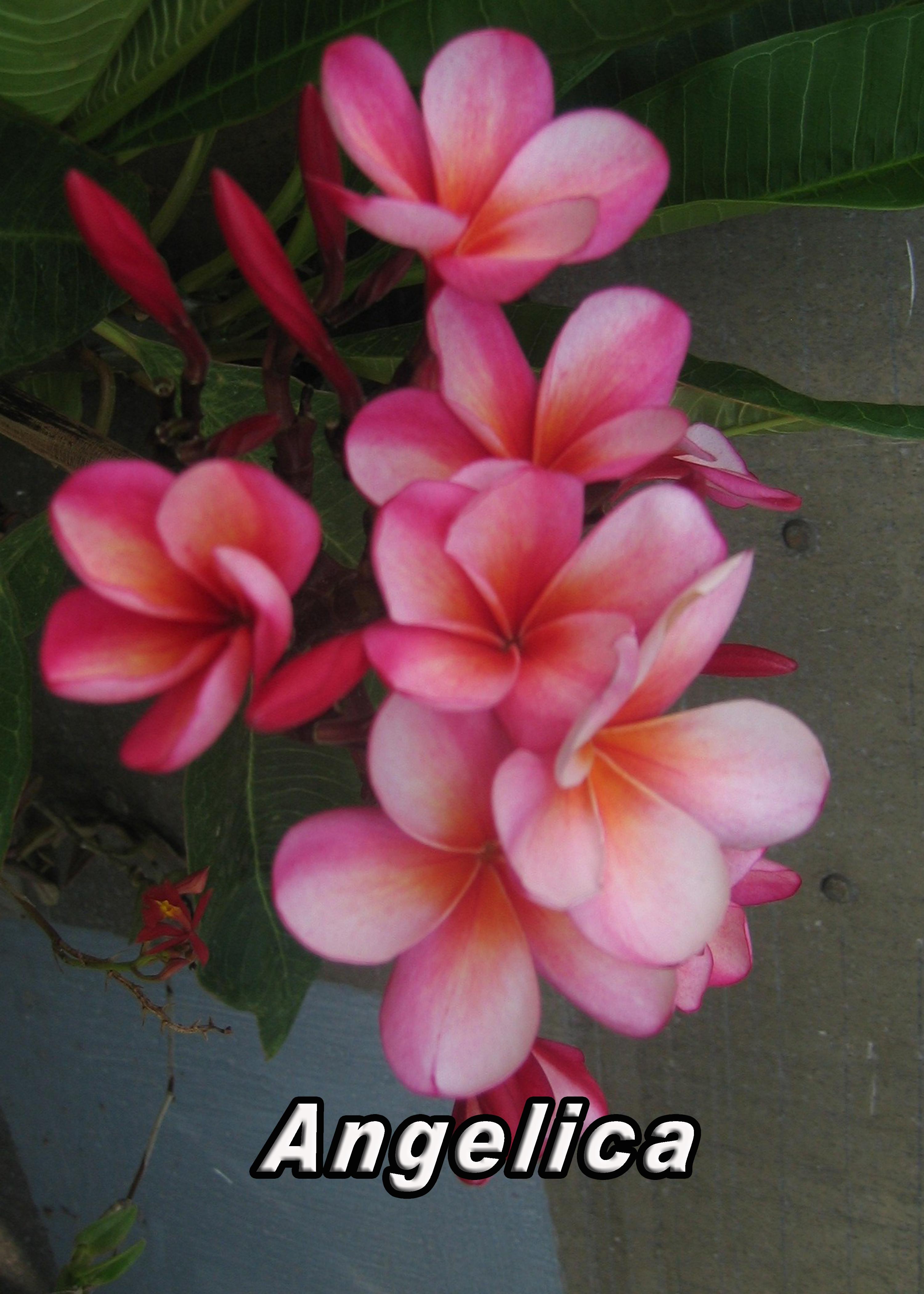 Plumeria Cuttings Colors – Wholesale Plumeria